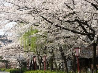 木屋町通の桜と柳